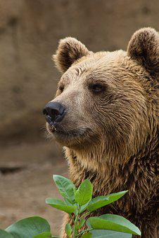 Bear, Brown, Wildlife, Nature, Mammal, Big, Animal