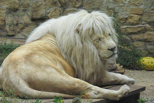 Lion, White Lion, Big Cat, Mane, Rarely, Zoo