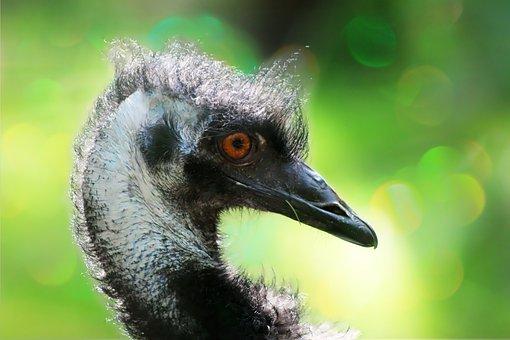 Emu, Flightless Bird, Bird, Bill, Head, Animal World
