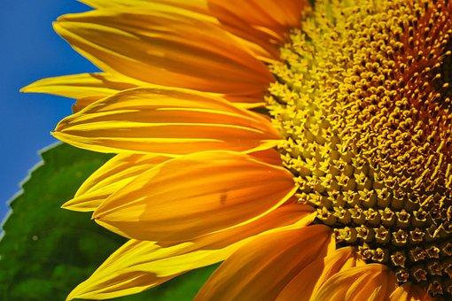 Sunflower, Bud, Summer, Nature, Plant, Blossom, Bloom