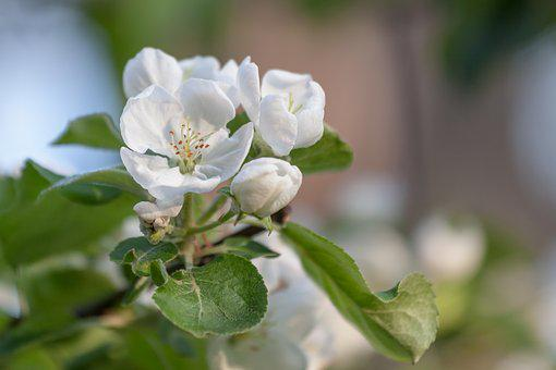 Flower, Spring, Apple Tree, White, Bloom, Flowers, Bud
