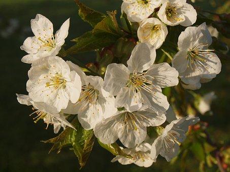 Flower, Fruit Tree, Sour Cherry, Spring, Bloom, Wood