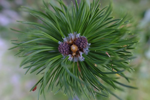 Pine, Pine Flower, Blossom, Bloom, Tree, Conifer
