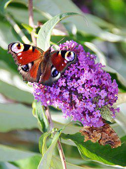 Paon-du-jour, Butterfly, Buddleia, Foraging, Color
