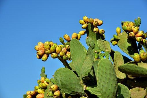 Prickly Pear, Cactus, Cactus Greenhouse, Prickly