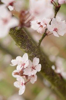 Cherry, Cherries, Tree, Pink, White, Dreamy, Flowers