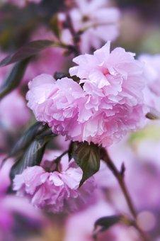 Cherry Blossom, Cherry, Blossom, Flowers, Pink