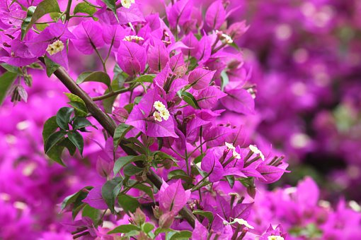 Kerkyra, Corfu Town, Greece, City, Bougainville, Lilac