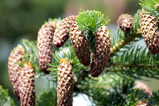 Spruce, Tree, Coniferous Tree, Needles, Nature, Green