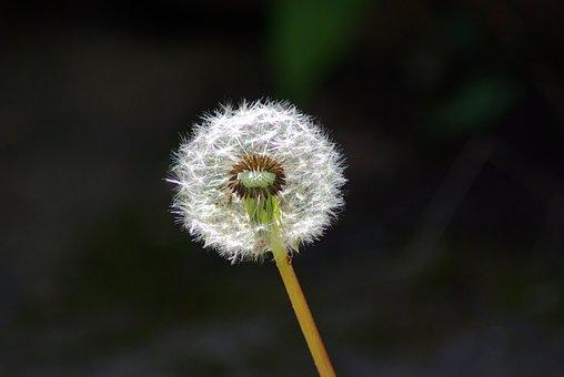 Dandelion Parachute Ball, Parachutes, Seeds, Dandelion