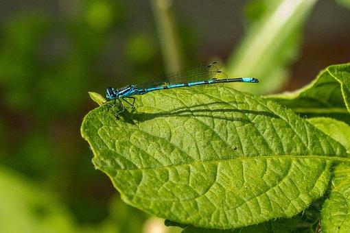 Dragonfly, Horseshoe-azure Bridesmaid, Small Dragonfly