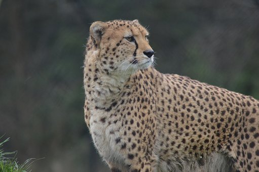 Cheetah, Big Cat, Zoo, Animal, Wild, Mammal, Fast