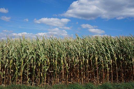 Corn, Landscape, Agriculture, Field, Harvest, Sky