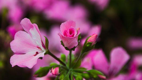Geranium, Bright, Beauty, Pink, Close Up, Bud, Flower