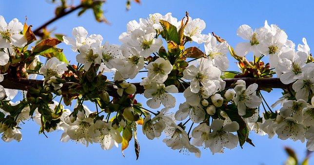Cherry, Flower, Tree, Spring, Nature, White, Plants