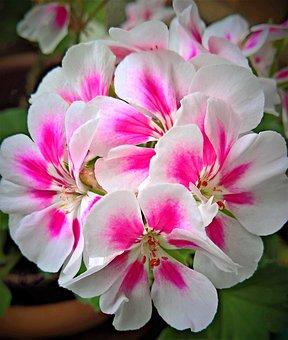 Flower, Geranium, Potted Plant, Garden, Flower Umbel