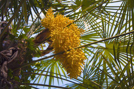Palm Tree, Yellow, Flower, Nature, Tropical, Flora