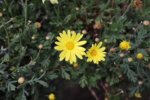 Margaritas, Yellow, Flower, Spring, Garden, Flowering
