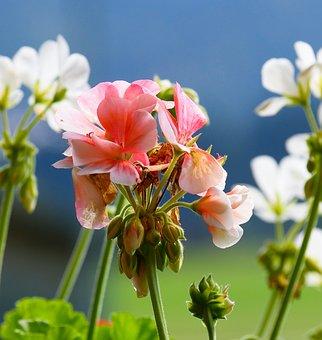 Nature, Flowers, Geranium, Summer, Flower Garden