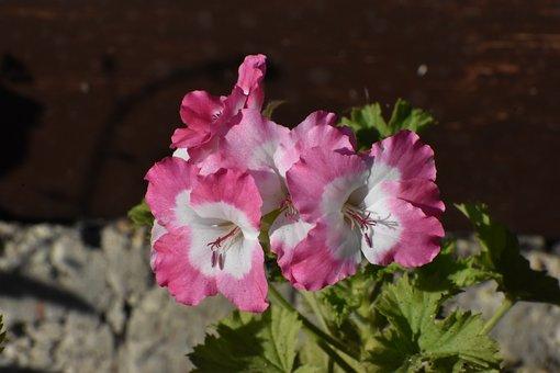 Geranium, Multicolored, Garden, Summer, Flower
