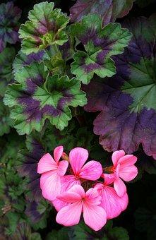 Geranium, Flower, Plant, Garden, Nature