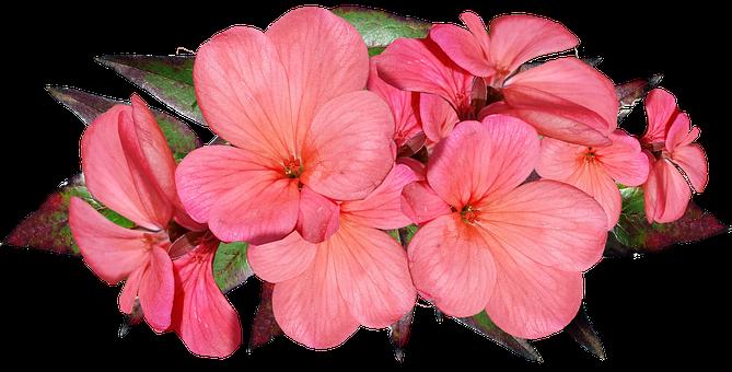 Geranium, Pink, Flowers, Garden, Nature