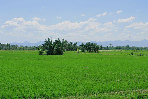 Field, Padi, Green, Agriculture, Irrigation, View