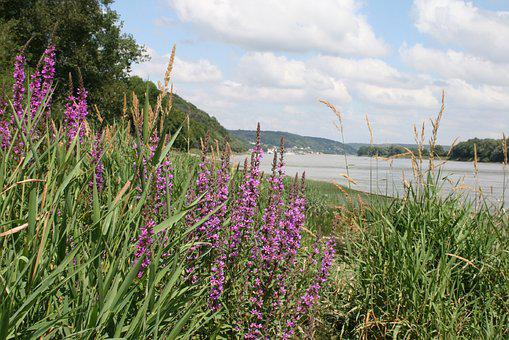 Lavender, Flowers, Purple, River, Its, Postkartenmotiv
