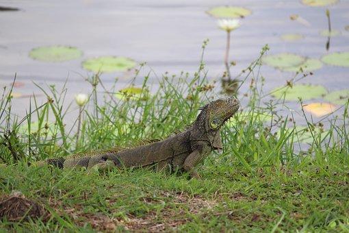 Belize, Nature, Lamanai, Lizard, Reptile, River, Iguana