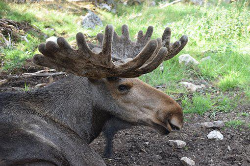 Bull Moose, Moose, Antler, Sweden, Animal, Male
