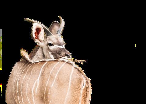 Young Kudu, Male, Deer, Animal, Wildlife, Mammal