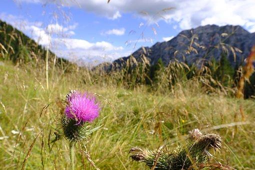 Thistle, Acker Thistle, Flower, Mountains, Alpine