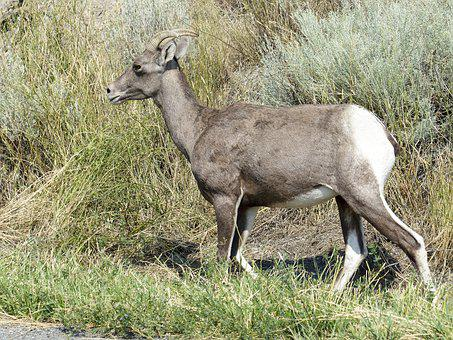 Big Horn Sheep, Wildlife, Animal, Nature, Outdoors