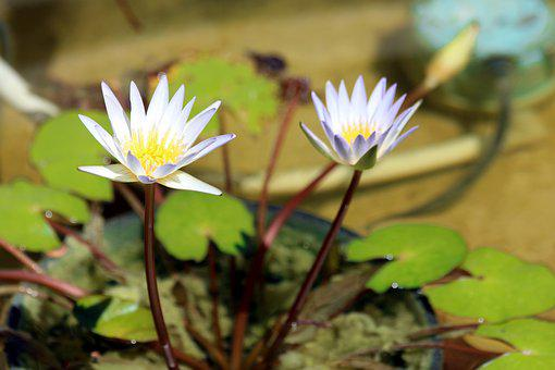 Water Lily, Flowers, Sheet, Plant, Pond, Nature