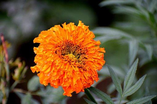 Marigold, Flower, Bloom, Nature, Blossom, Plant, Yellow