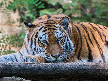 Tiger, Big Cat, Tiger Head, Noble, Animal