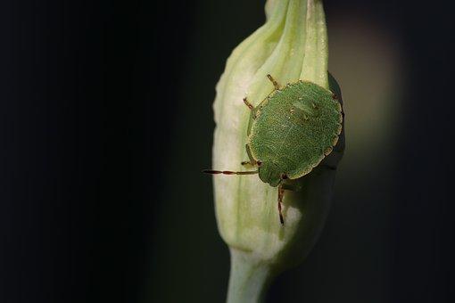 Grüne, Stink Bug, Insect, Animal, Bug, Onion Blossom