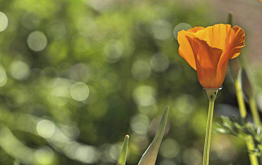 Poppy, Orange, Green, Bloom, Flower, Blossom, Plant