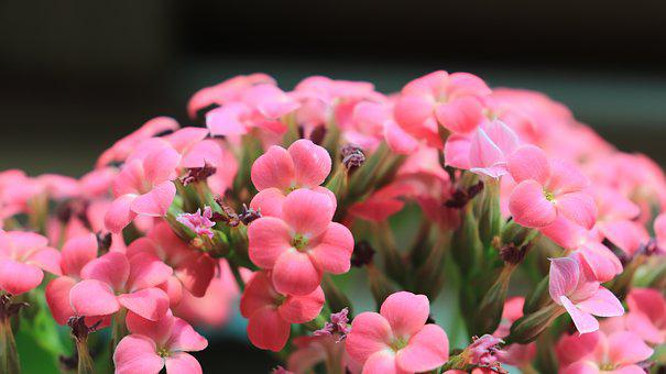 Kalanchoe, Blossom, Pink, Soft, White, Leaf, Green