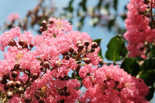 Flowers, Blossom, Pink, Spring, Summer, Leaves, Tree