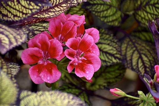 Geranium, Pink, Flowers, Nature, Plant, Bloom, Summer