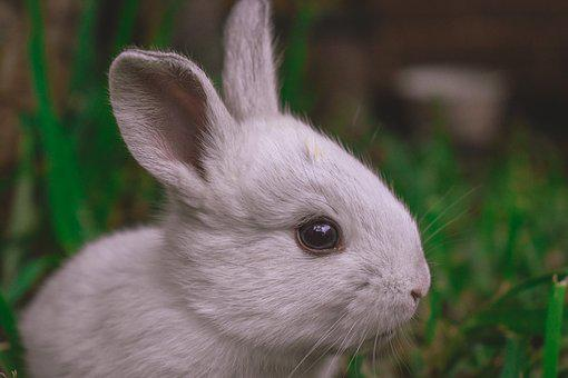 Rabbit, Animals, Cute, Nature, Mammal, Ears, Pet