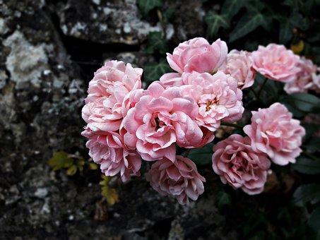 Flower, Rose, Rubella Syndrome, Bush, Pink, Garden