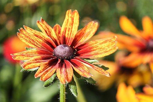 Rudbeckia, Orange, Composites, Flower, Blossom, Bloom