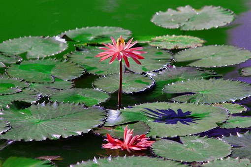 Water Lily, Flower, Sheet, Red Flower, Green, Plant