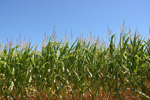 Corn, Culture, Cereals, Spikes, Field, Agriculture