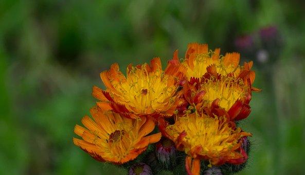 St John's Wort, Flower, Blossom, Bloom, Plant, Yellow