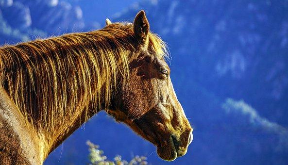 Horse, Equine, Head, Mane, Animal, Stallion, Tamed