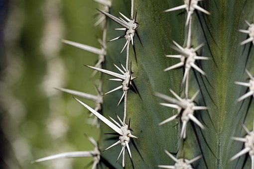 Cactus, Thorns, Thorny, Spikes, Spiked, Sharp, Plant