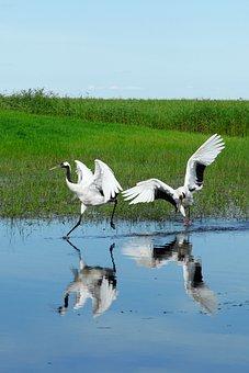 Heilongjiang, Pinned Dragon, Wetlands, Crane